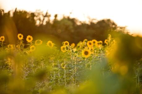 Sonnenblumenfeld bei Koppenwall